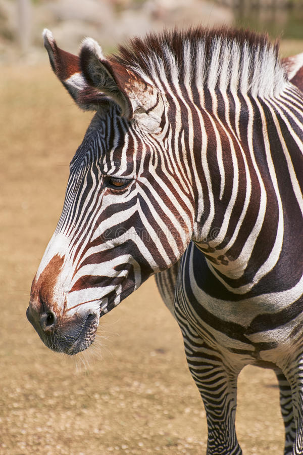 Portret zebra zdjęcie stock