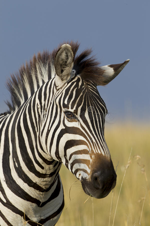 Portret zebra, Maasai Mara, Kenja zdjęcia stock