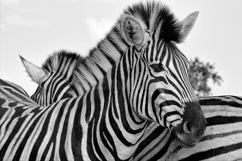 Portret zebra przy kruger parka narodowego południe zdjęcie stock