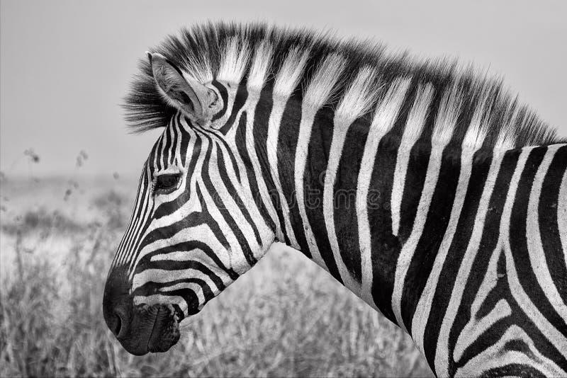 Portret zebra przy kruger parkiem narodowym zdjęcia stock
