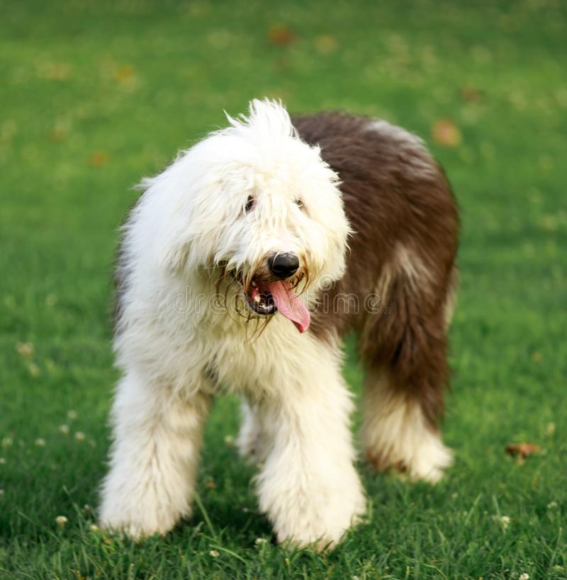 portreta angielski stary sheepdog zdjęcie royalty free