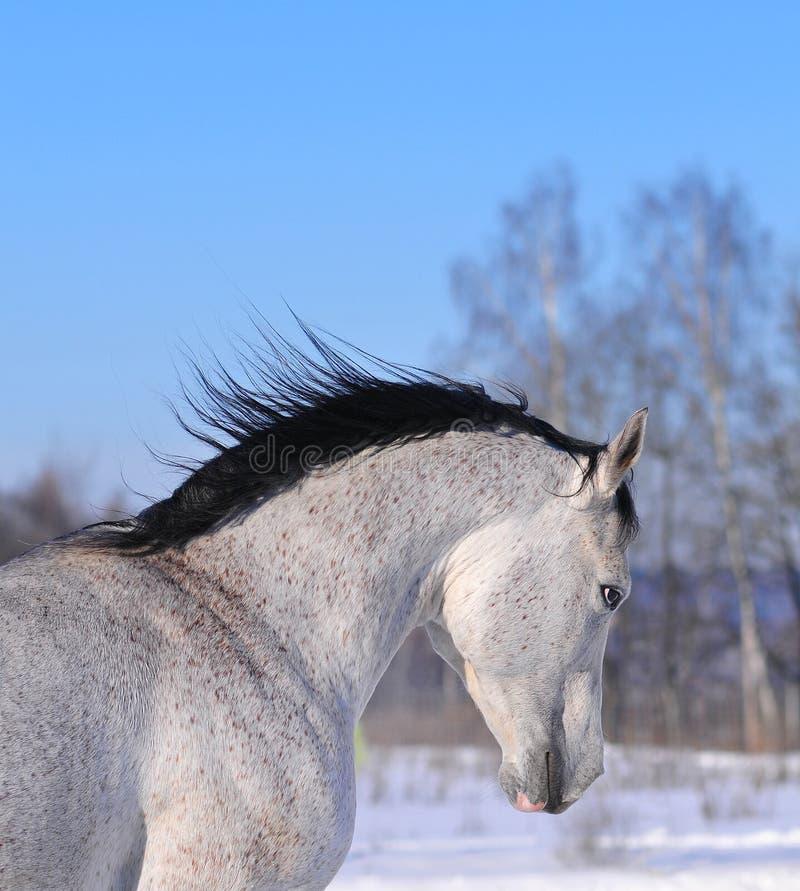 portreta arabski koński bieg obrazy stock