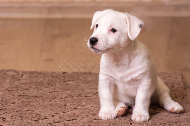 Portreta biały szczeniak Jack Russell Terrier, siedzi w przodzie, brązu tło fotografia stock