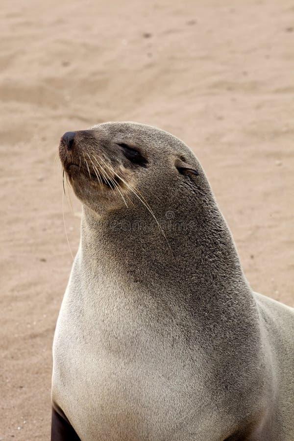 Portreta Brown futerkowej foki kolonie w przylądka krzyżu, Namibia obraz stock