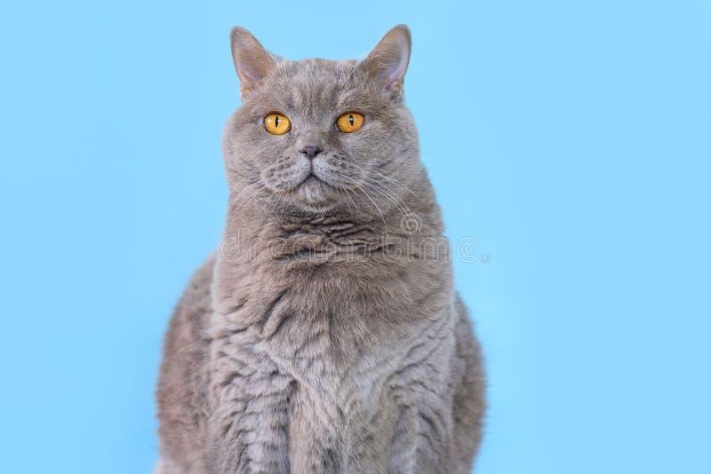 Portreta Brytyjski Shorthair ?liczny kot na b??kitnym tle zdjęcia royalty free