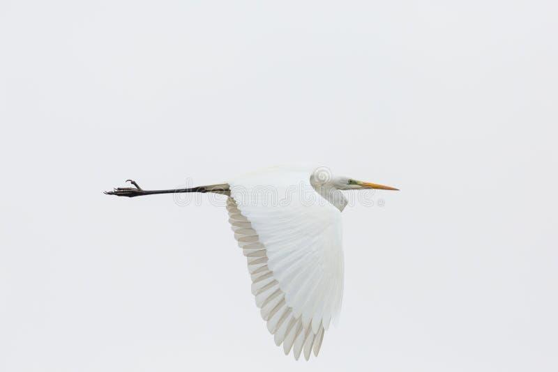 Portreta egret wielkiego białego egretta alba latanie, rozszerzanie się uskrzydla obraz stock