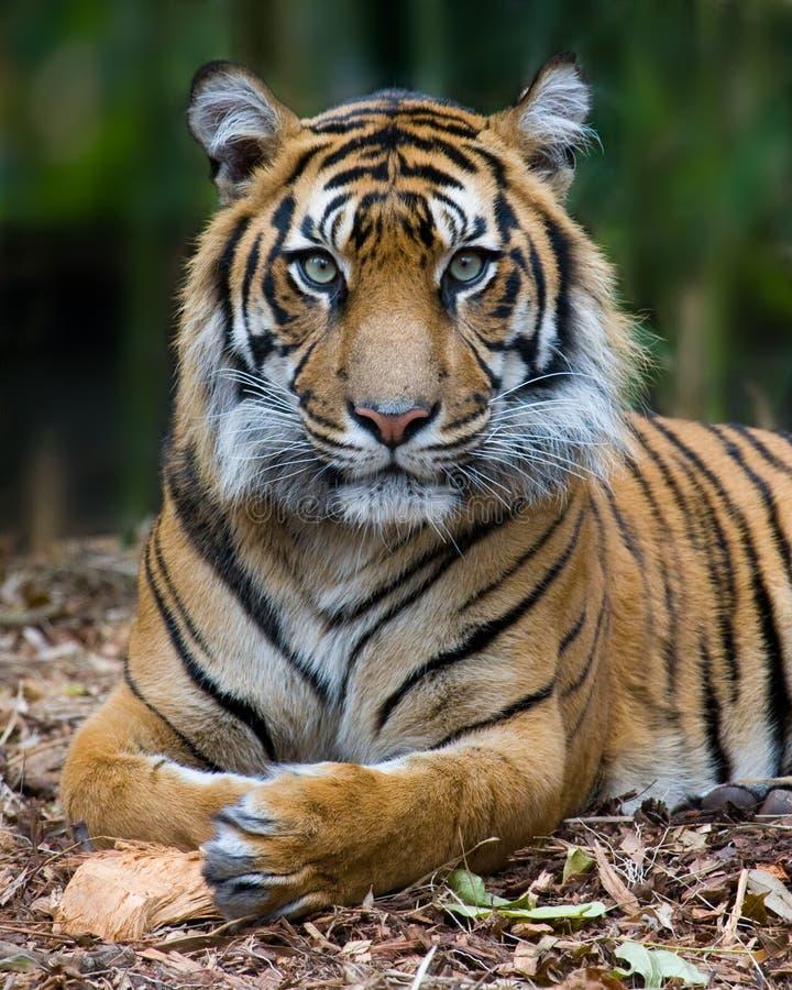 portreta formalny tygrys zdjęcia royalty free