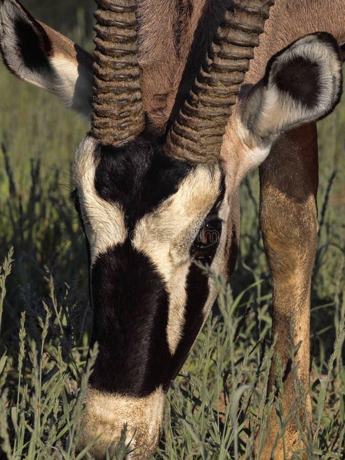 Portreta Gemsbok, Oryx gazella gazella, Kalahari, Południowa Afryka fotografia stock
