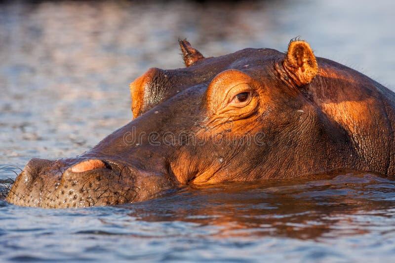 Portreta hipopotam, Hipopotamowy amphibius, Chobe, Namibia obrazy royalty free