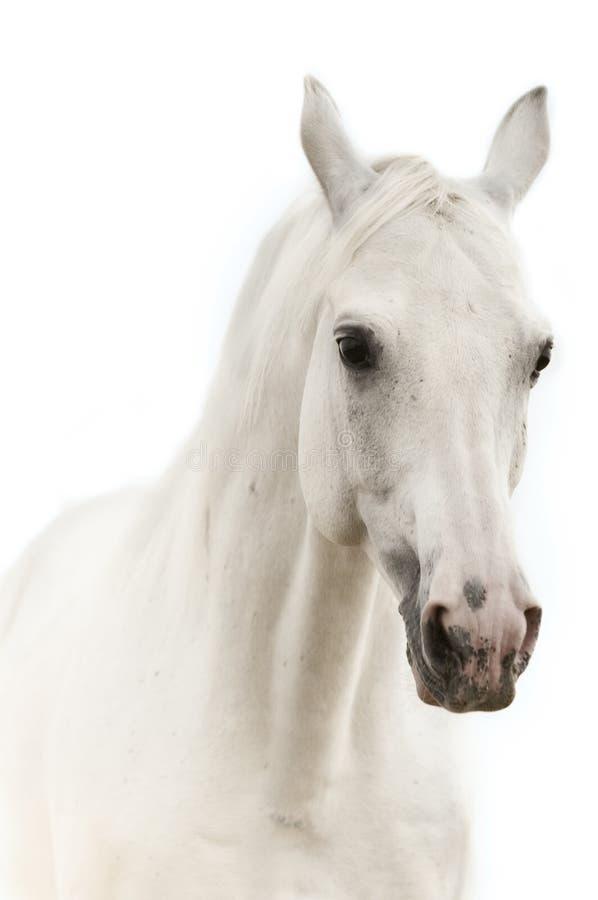 Download Portreta koński biel obraz stock. Obraz złożonej z grzywa - 9420761