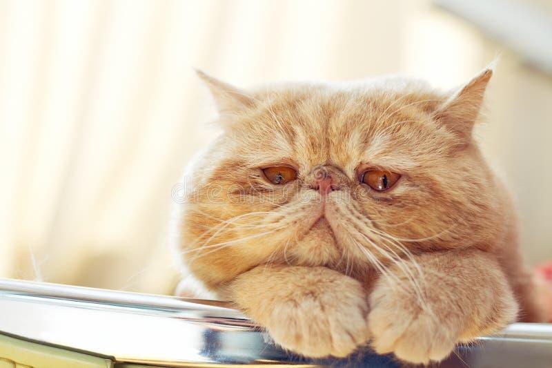 Portreta krótkopęd CPA kota wnętrze obrazy royalty free