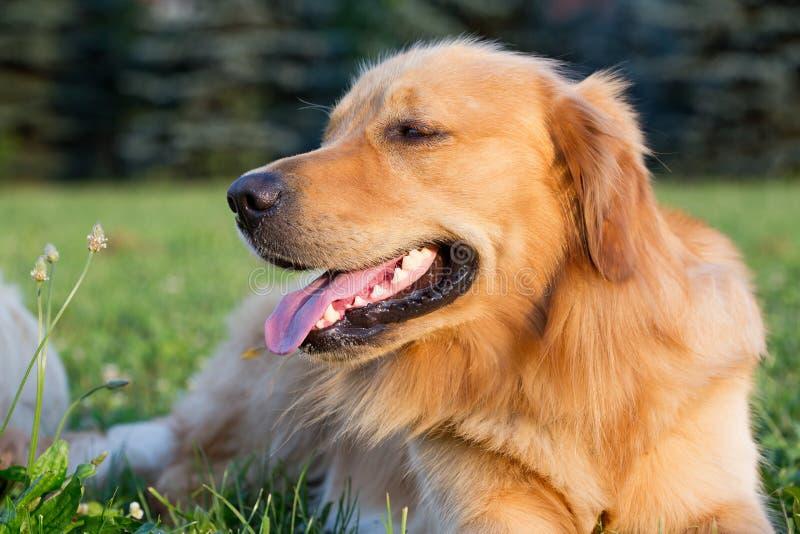 Portreta młody piękna pies obraz royalty free