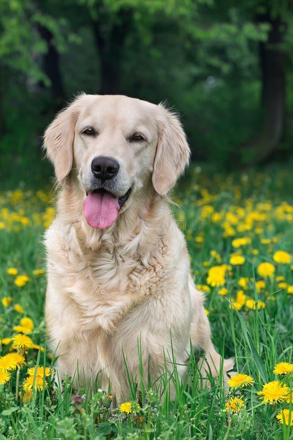 Portreta piękna młody pies zdjęcia stock