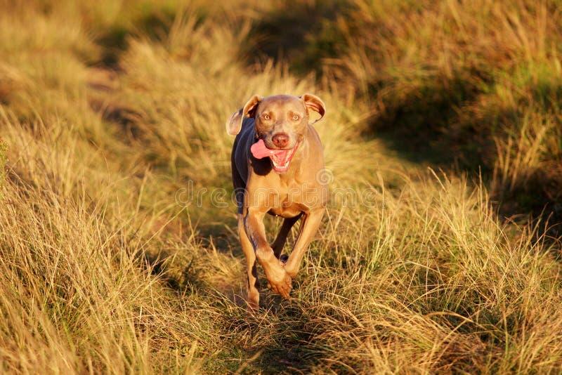 portreta piękny psi weimeraner obrazy stock
