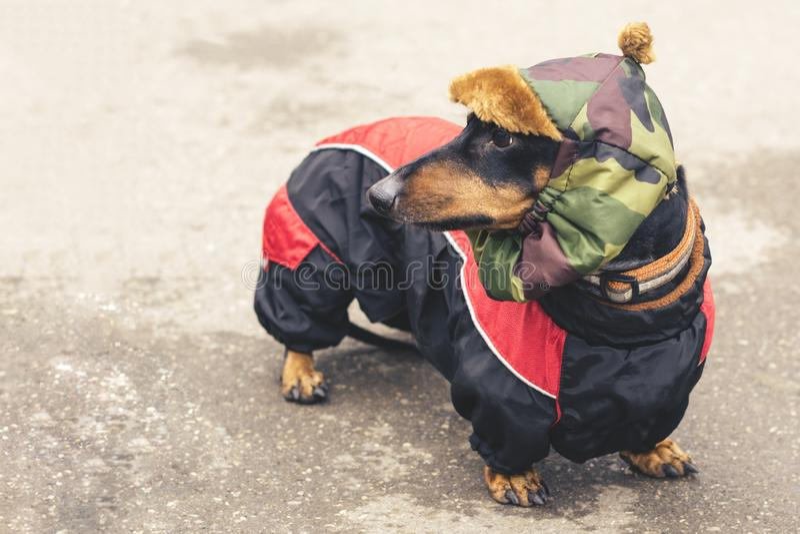 Portreta psa trakenu jamnik długi na bruku pies ubierał w czarnej dębnej kurtce i khakim kapeluszu zdjęcia royalty free