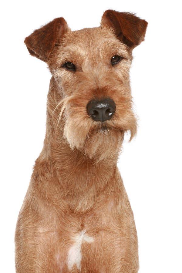 portreta psi irlandzki terier zdjęcie stock