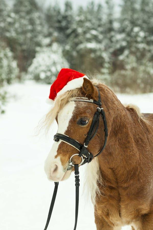 Portreta słowika Walijski konik w Bożenarodzeniowej czerwonej nakrętce w śniegu w drewnach fotografia royalty free