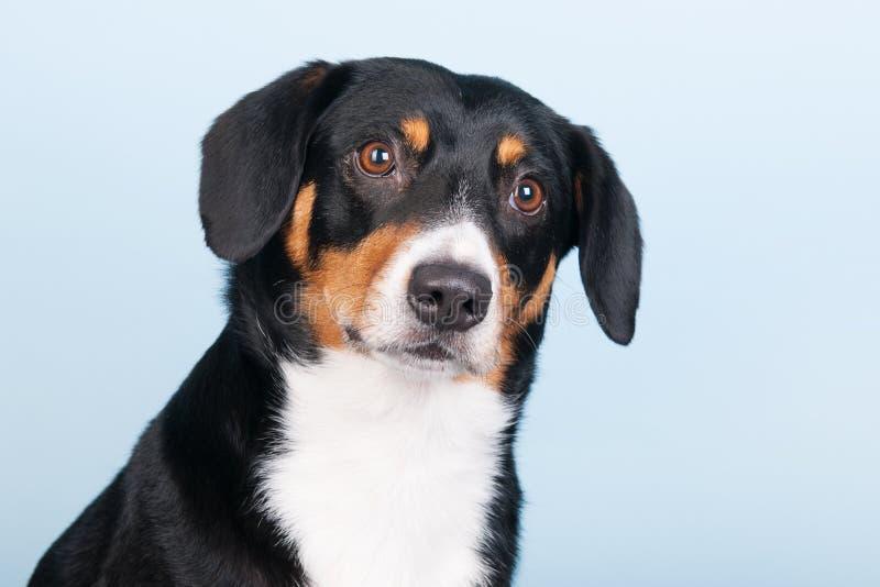Portreta Sennen hund zdjęcia stock