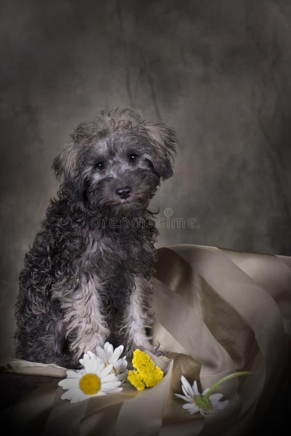portreta szczeniaka schnoodle fotografia stock
