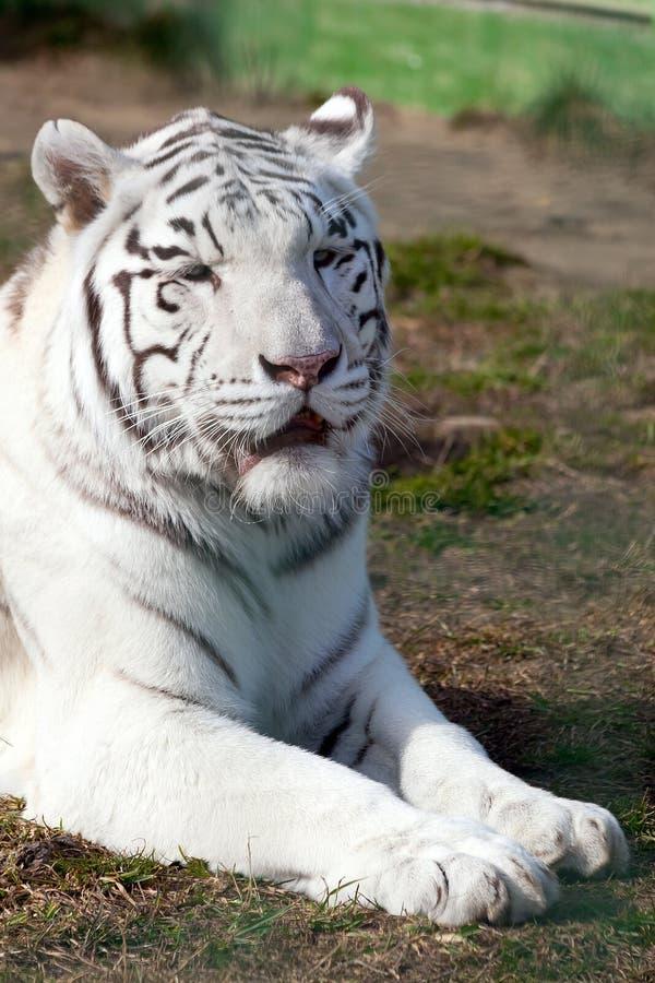 Portreta tygrysa biały zakończenie up Spokojny kaganiec z zamkniętymi oczami zdjęcia royalty free