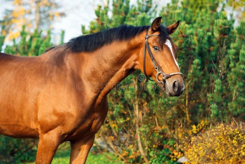 Portreta warmblood sportive koń pozuje przeciw stajence zdjęcie stock