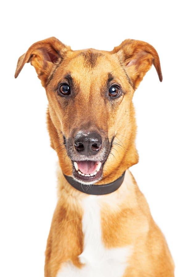 Portreta Whippet Crossbreed Szczęśliwy Uśmiechnięty pies zdjęcia royalty free