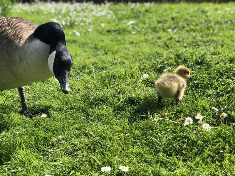 Portreta zbliżenie gąski i gąsiątka kaczątka fotografia royalty free