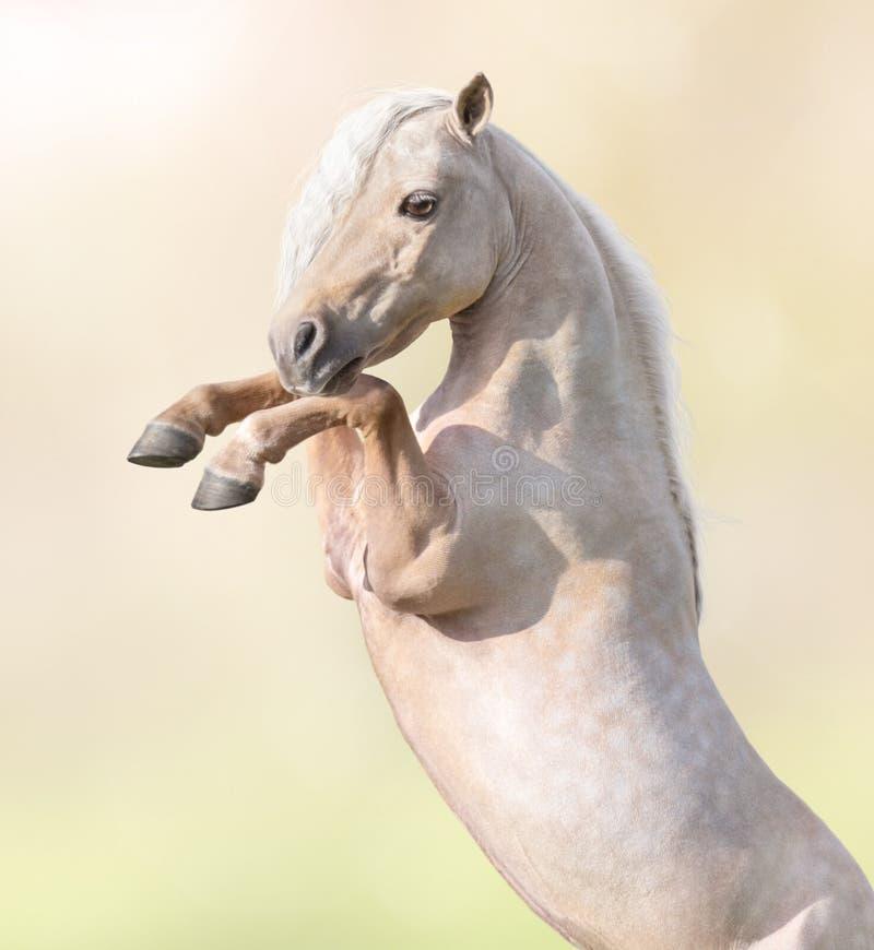 Portreta zbliżenie palomino amerykanina miniatury konia wychów zdjęcia royalty free