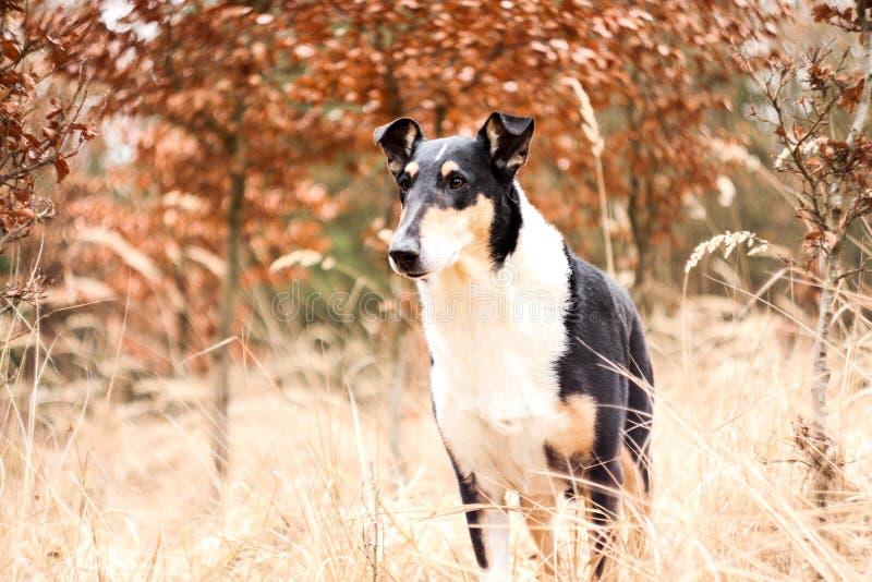 Portretbeeld van de korte haired collie royalty-vrije stock foto