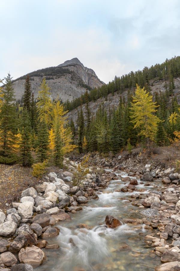Portretmening van het runnen van stroom langs gele de herfstpijnboom met hoge rotsachtige berg in Jasper National-park royalty-vrije stock fotografie
