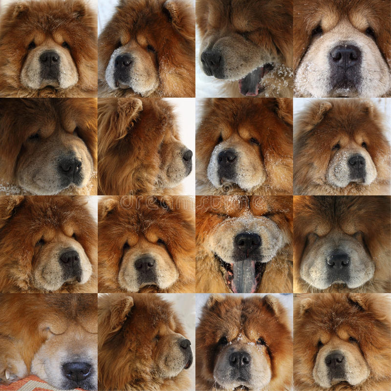 Portretten van een mooie hond van ras van de chow-chow royalty-vrije stock afbeeldingen