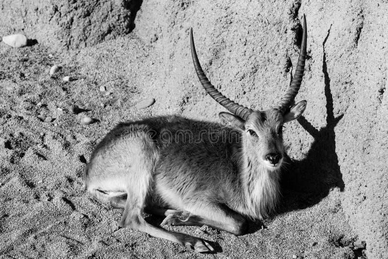 Portretten van gazelle de zwart-witte dieren stock afbeeldingen