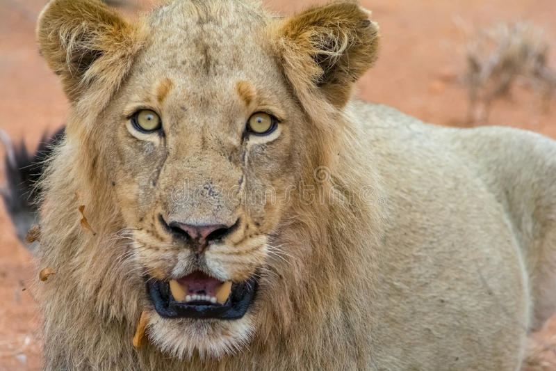 Portrettering van jonge mannelijke leeuw in het Nationale Park van Kruger, Zuiden Af stock fotografie