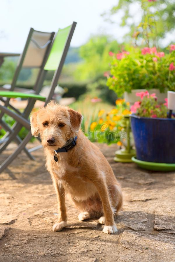 Portriat меньшая перекрестная собака породы в jardin стоковая фотография
