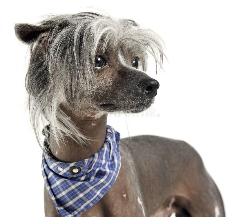 Portrit crestato cinese molto sveglio del cane in un fondo bianco fotografia stock libera da diritti
