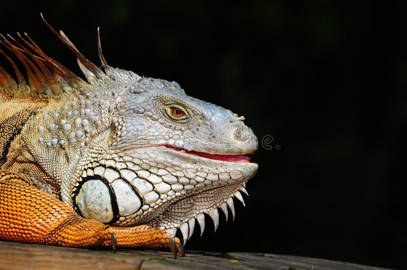 Portrit van een Leguaan stock afbeeldingen