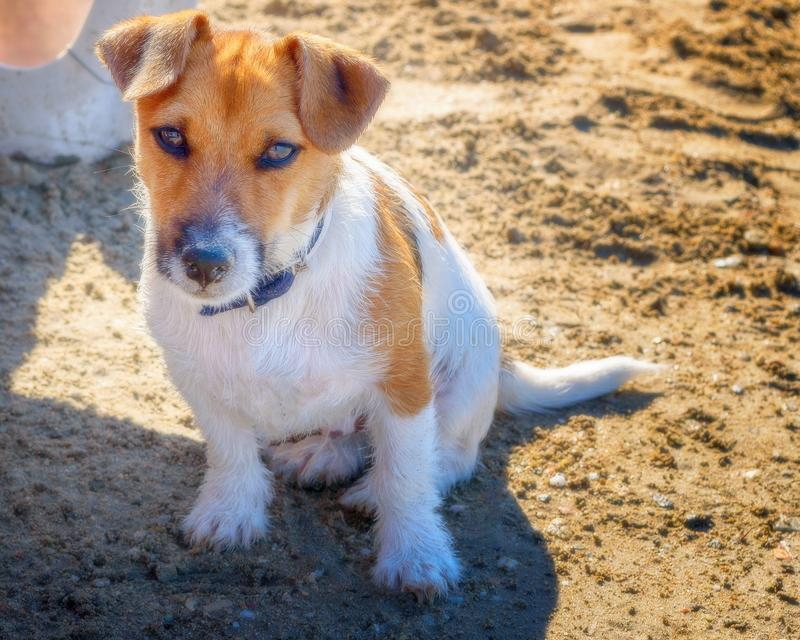 Portrtait de um cachorrinho bonito na praia fotografia de stock royalty free