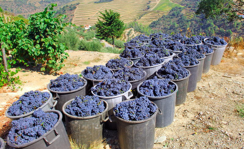 Portugal, Douro valley: Grapes. Portugal, Douro valley, Pinhao: just harvested Grape for the fabrication of the famous oporto wine stock images