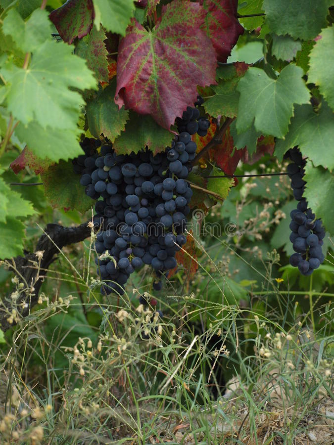 Portugal Douro Valley Vineyards Grapes stock photo