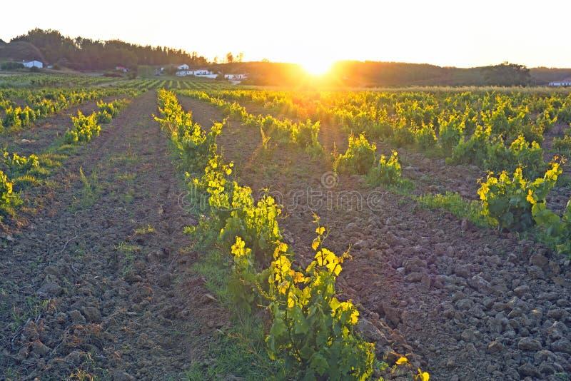 Portugalat日落的葡萄园 免版税库存照片