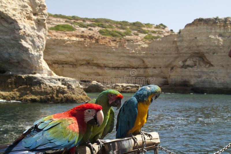 Portugalia papugi obrazy royalty free