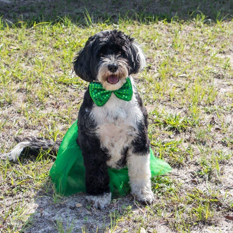 Portugalski Wodny pies jest ubranym jej Patrick St dnia spódnicę i łęku krawat obrazy stock