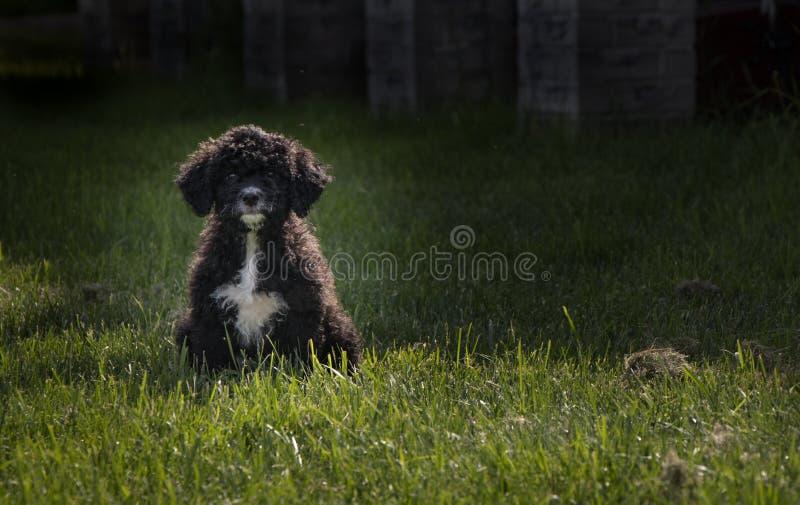 Portugiesischer Wasserhund Des Welpen Stockbild Bild Von Portugiesisch Jung 8954123