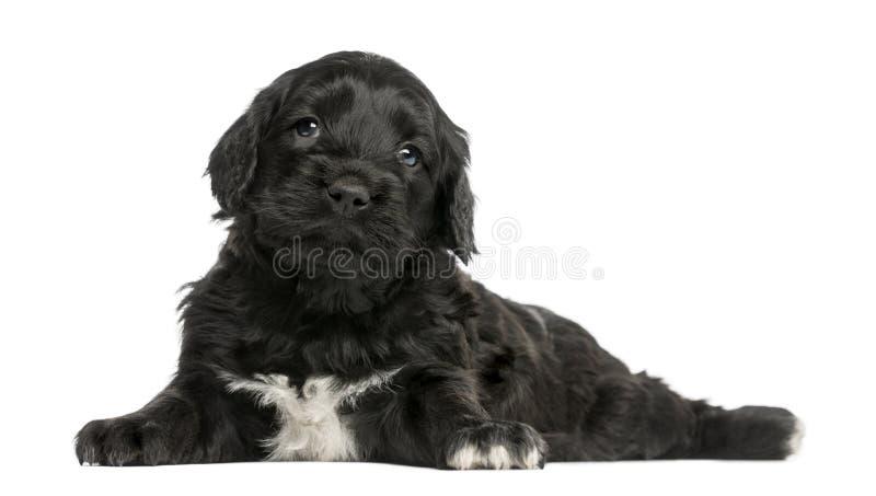 Portugisisk vattenhund (6 gamla veckor) arkivfoto