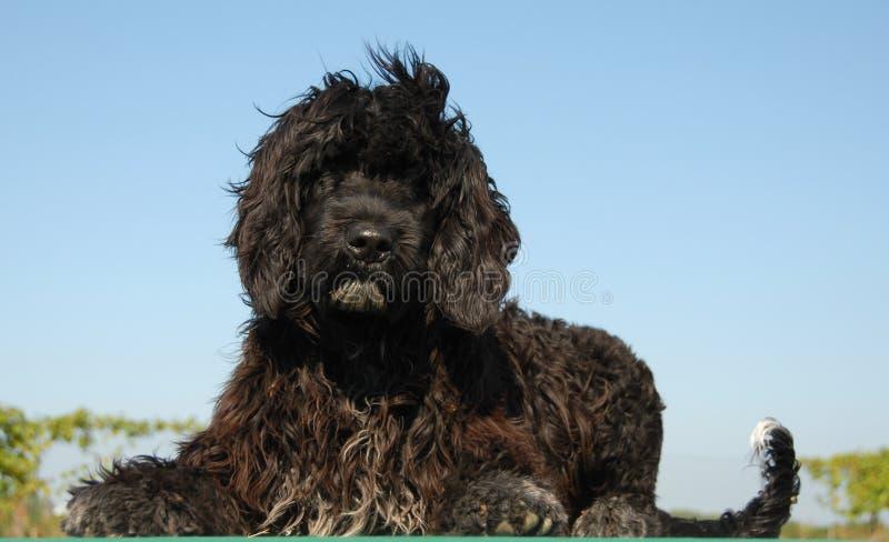 portugisiskt valpvatten för hund arkivfoton