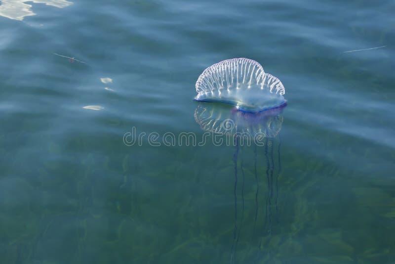 Portuguese Man O` War Jellyfish stock images