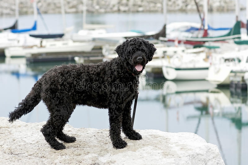 Portuguese Water Dog stock photo