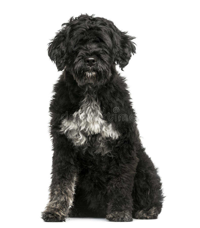 Free Portuguese Water Dog Stock Photography - 41995952