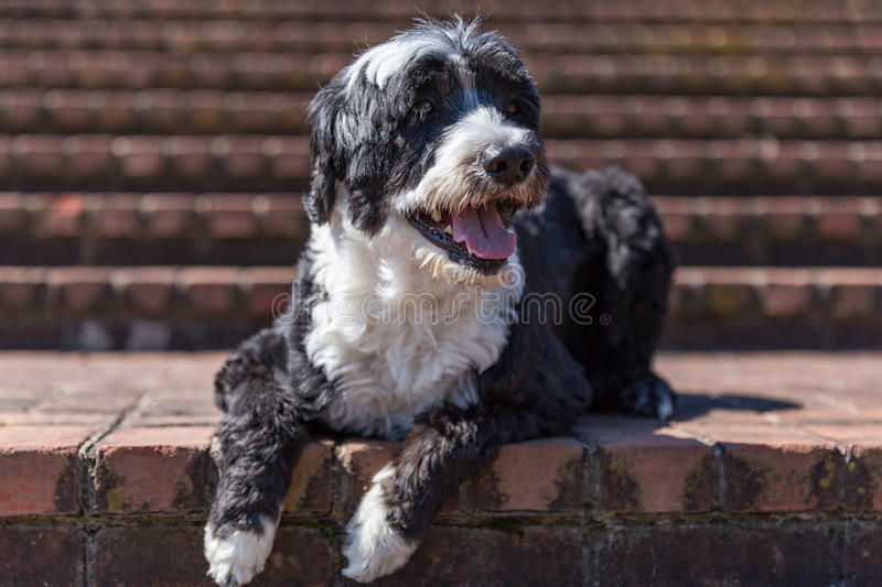 Portuguese Water Dog on Brick Steps royalty free stock images