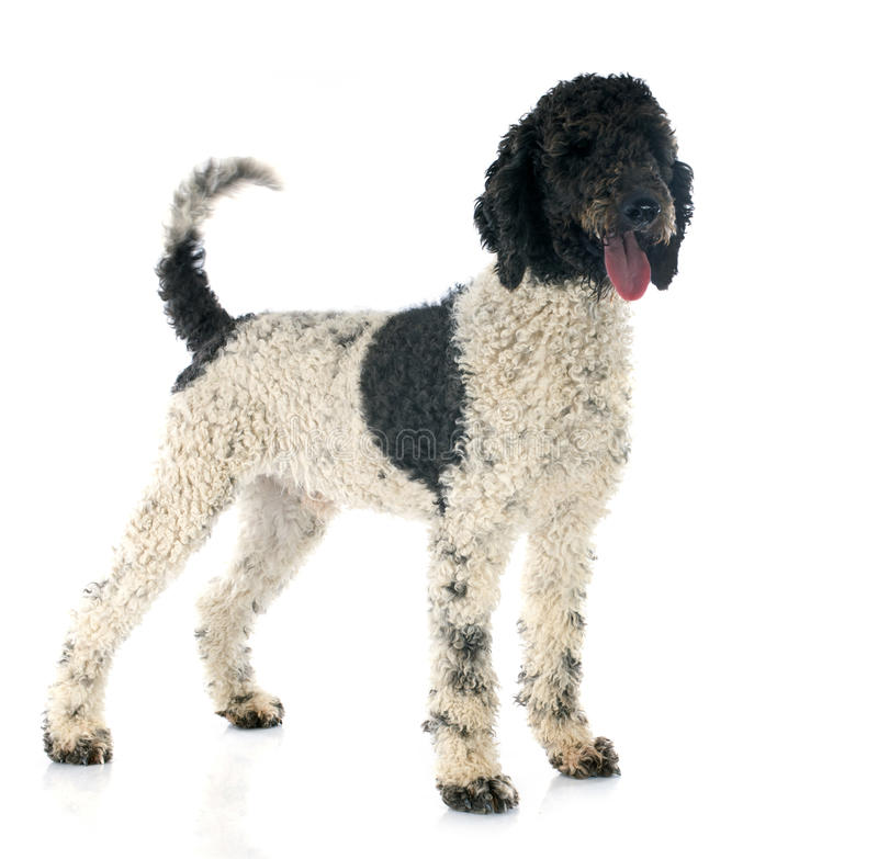 Portuguese Water Dog stock images